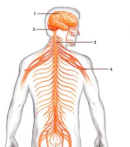 sistemanervioso