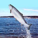¿Cómo se clasifican los pescados según su contenido graso?