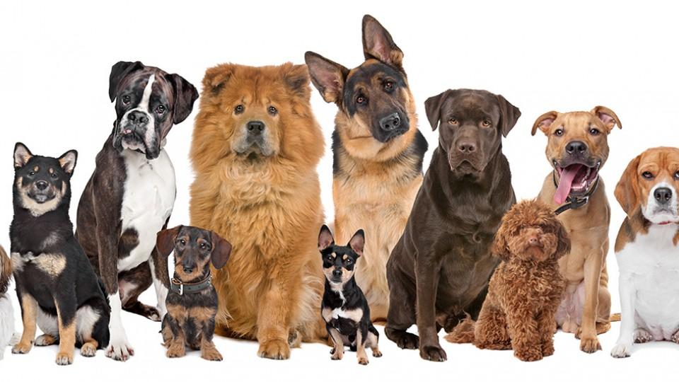 Consiguen la cura definitiva de la Diabetes tipo 1 en perros y la terapia pronto podría  ser utilizada en humanos